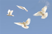 Doves in flight